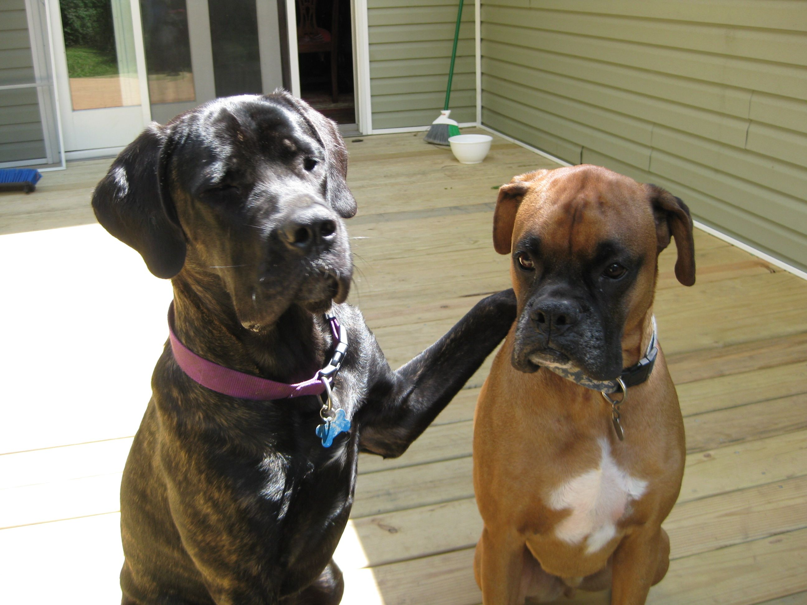 Lola Cane Corso Just Has To Be The