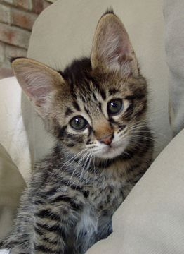 We're pretty sure Rocky is a savannah cat because he looked like this savannah kitten, and he is ginormous now.