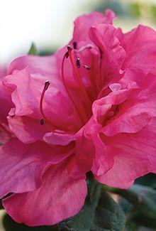 Pin By Snavely S Garden Corner On Gardening Azalea Shrub Reblooming Flowers Evergreen Shrubs