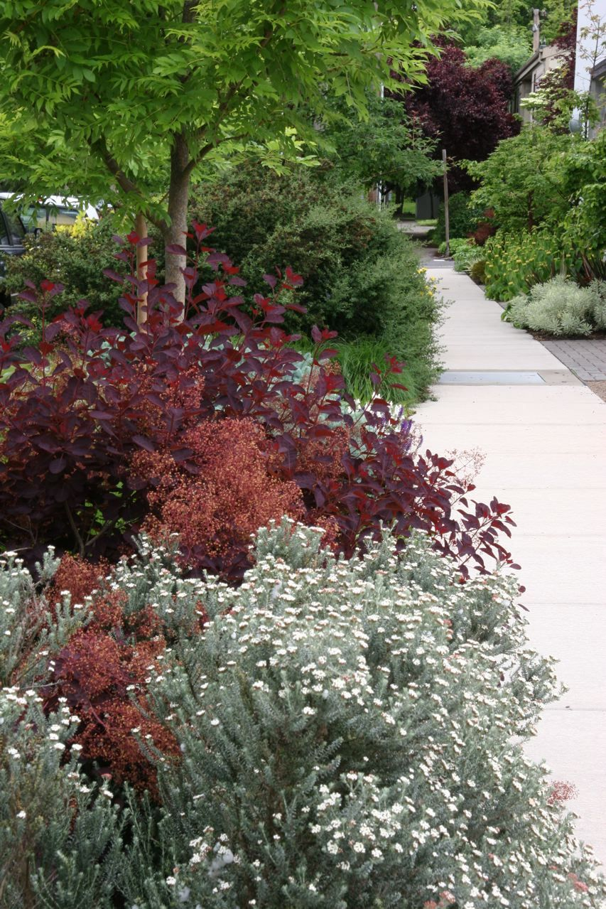 plum and silver, landscaping, gardening, white flowers, sidewalk