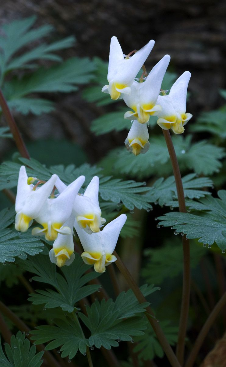 Dutchmans Breeches Orchid Exotic Plants At Stephward Estate