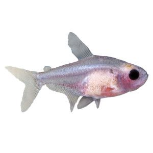 Red Belly X Ray Tetra Live Fish Petsmart Live Fish Fish Tetra