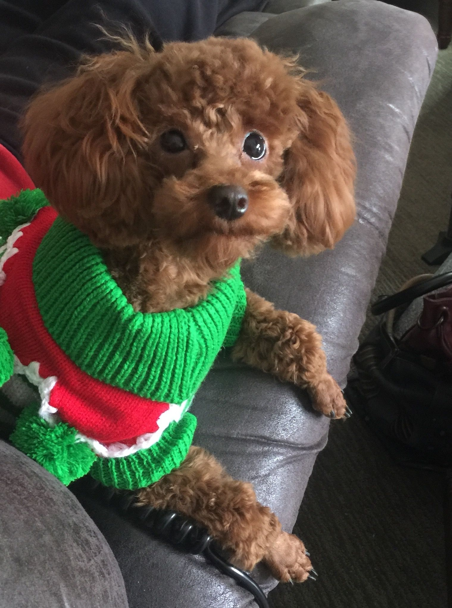 Starlet In Her Holiday Sweater Red Toy Poodle Poodle Poodle