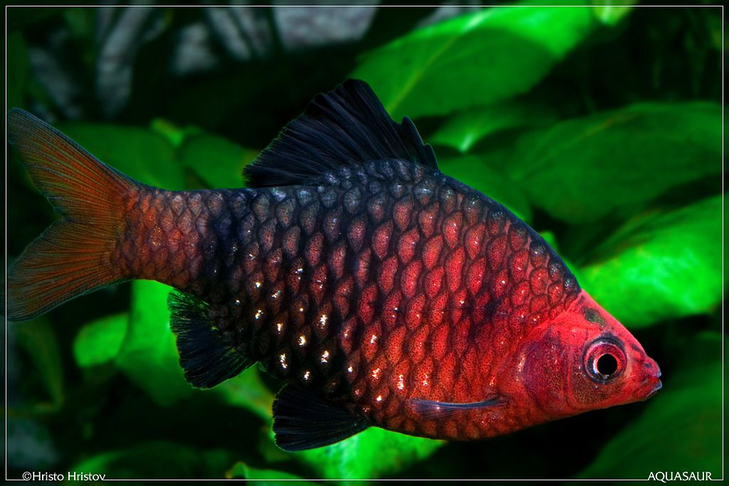 Black Ruby Barb Freshwater Fish Pinterest