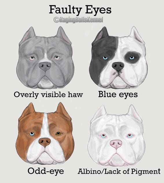 American Bully Faults Conformation American Bully Bully Dog American Bully Pocket