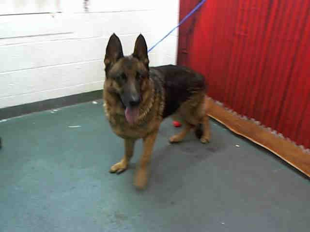 Yoli Id A0888724 I Am An Unaltered Female Black And Red German Shepherd Dog The Shelter Staff Think I Am About 6 Years O Dogs Red German Shepherd Animals