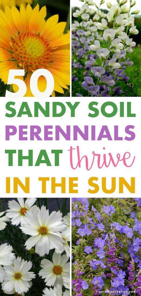 50 Sandy Soil Perennials That Like Sun - Finding Sea Turtles