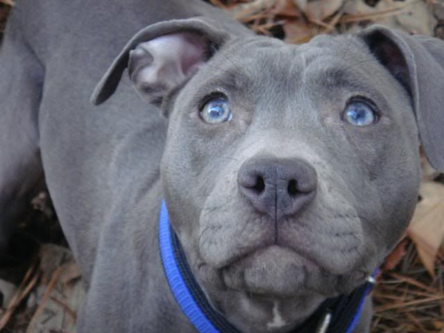 Grey Pitbull Amstaff Puppy Pitbull Puppies Puppies With Blue