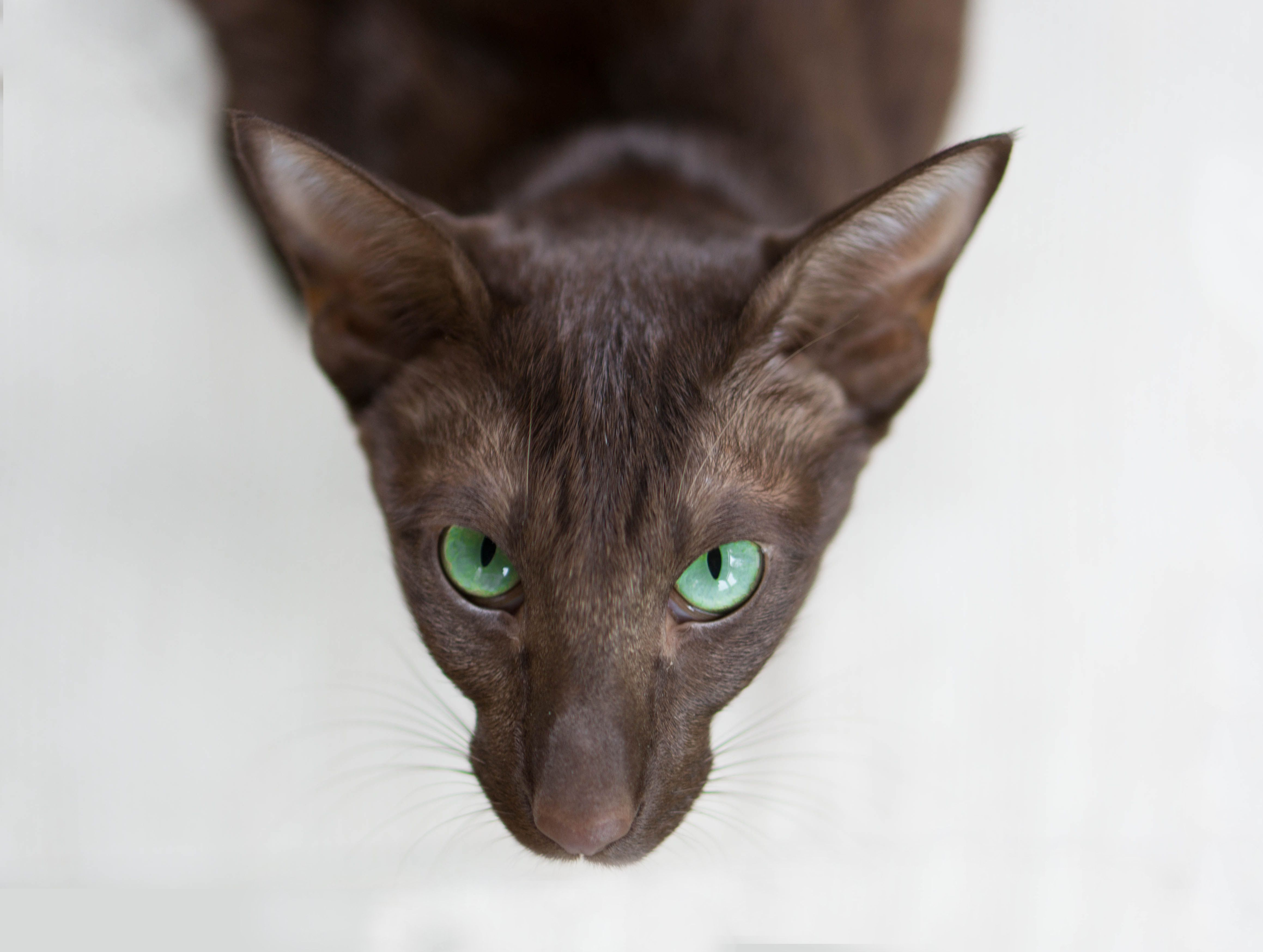 oriental cats | Fei Oriental Shorthair Cat Breed Cat Pages ...