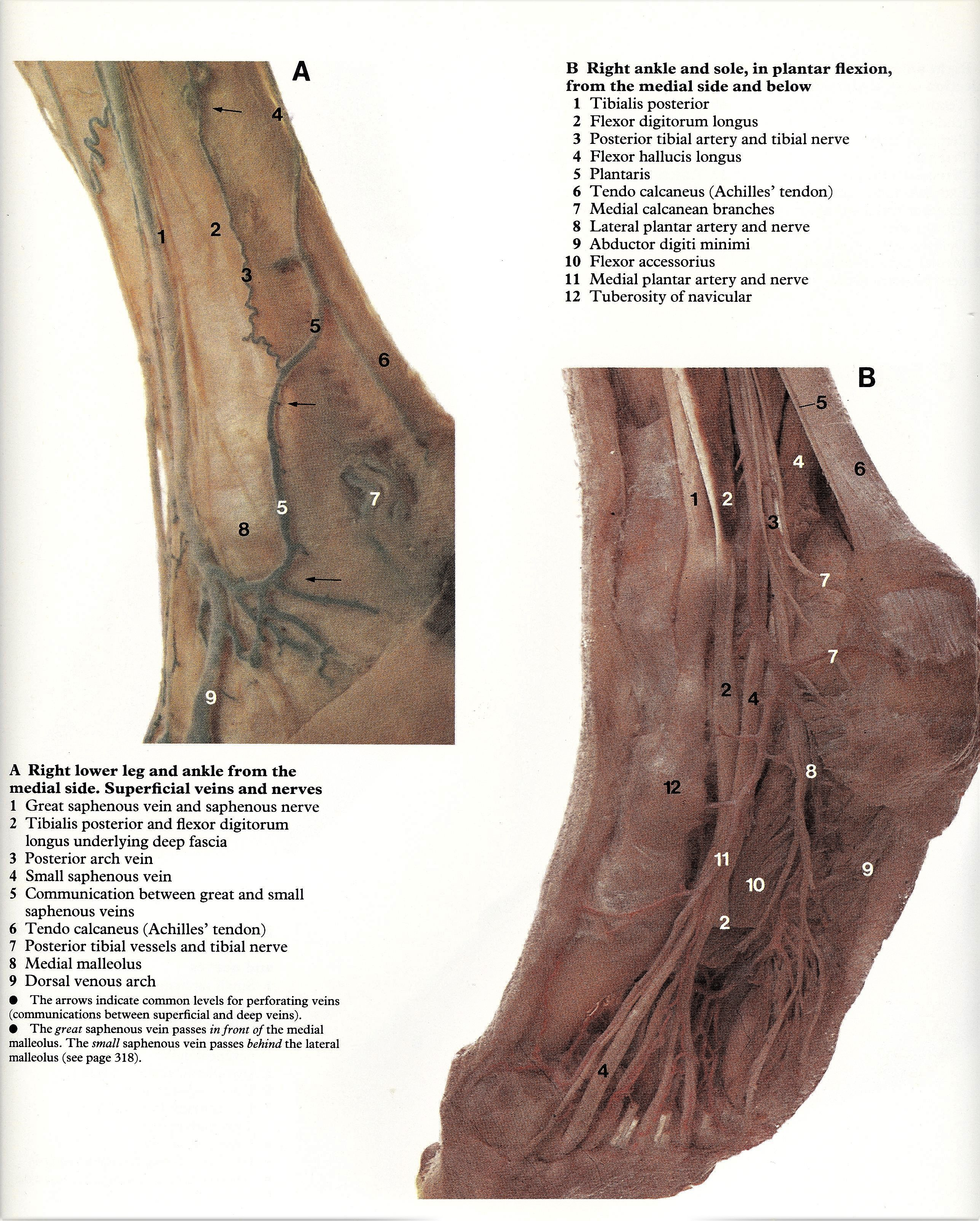 Pin by Bengt Sandberg on Part 6 of 6 - Lower limb - Atlas of Human ...