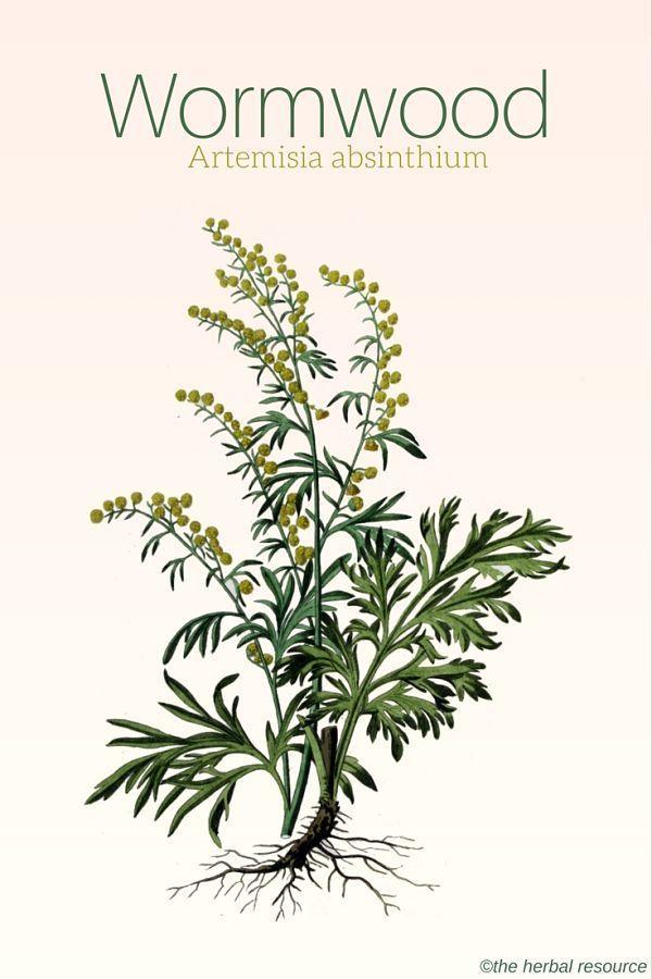 Wormwood herb Artemisia absinthium | plantas | Plantas ...