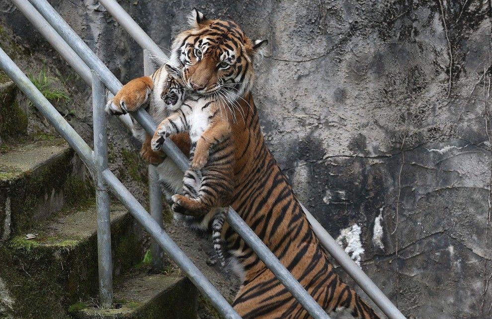 Tigre + Cucciolo