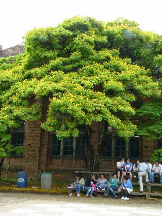 Acacia Amarilla árbol Espectacular Medellín Colombia Arboretum