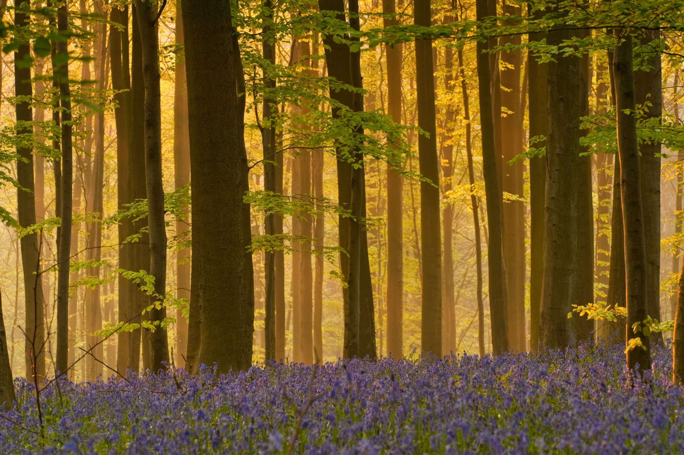 Bluebell carpets in Belgium's Hallerbos forest