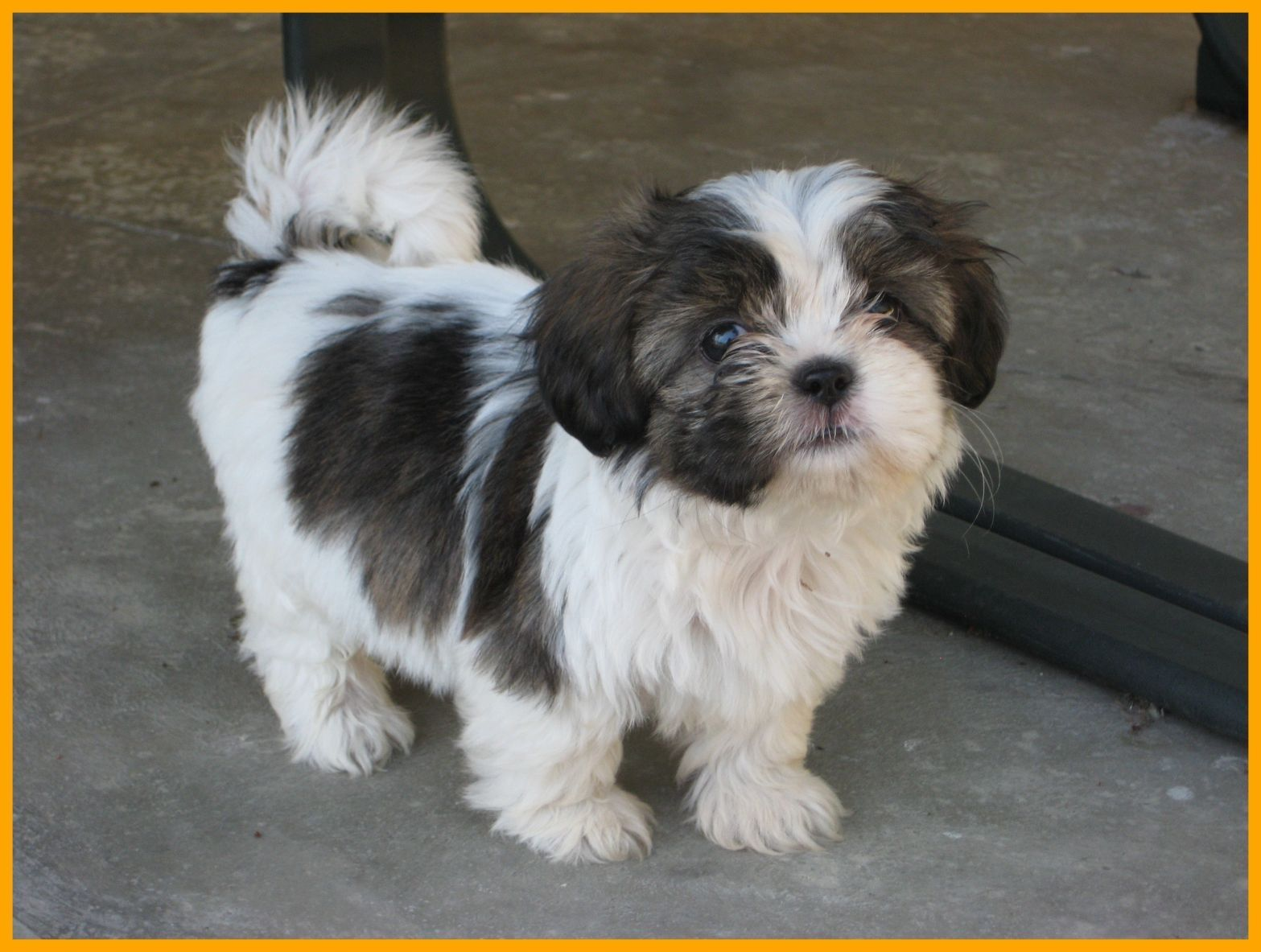 Image Result For Cute Dog Grooming Quotes Shih Tzu Puppy Cute