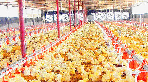 ✿CONNECT Poultry Farm Equipment✿ Complete turnkey houses | Kebun
