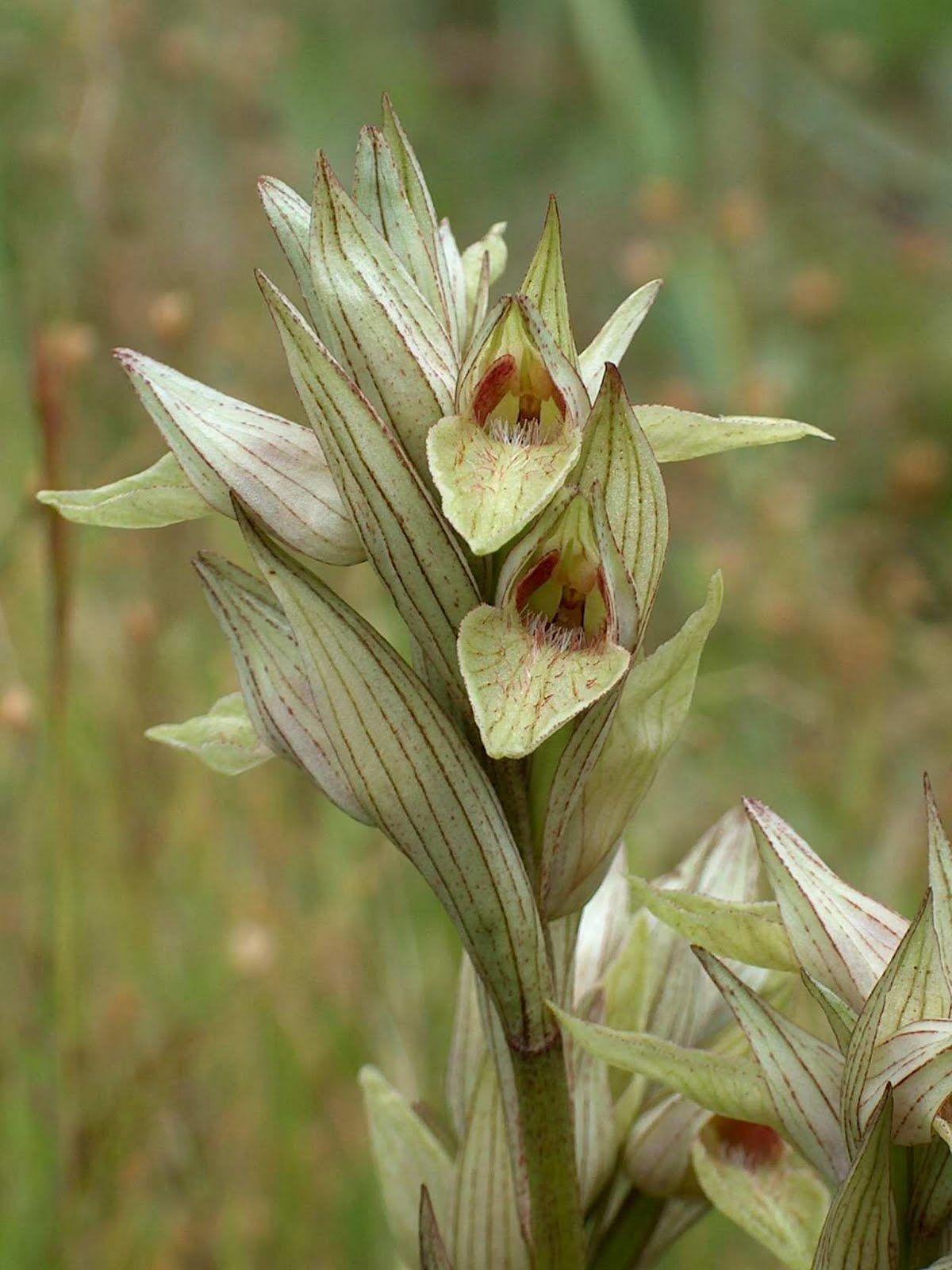 Serapias perez-chiscanoi (Gallos, Serapias de Chiscano)