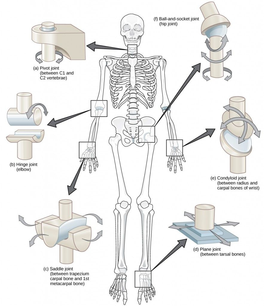Figure 38 26 Different Types Of Joints Allow Different Types Of Movement Planar Hinge Pivot Condyloid Saddle Human Joints Joints Anatomy Synovial Joint