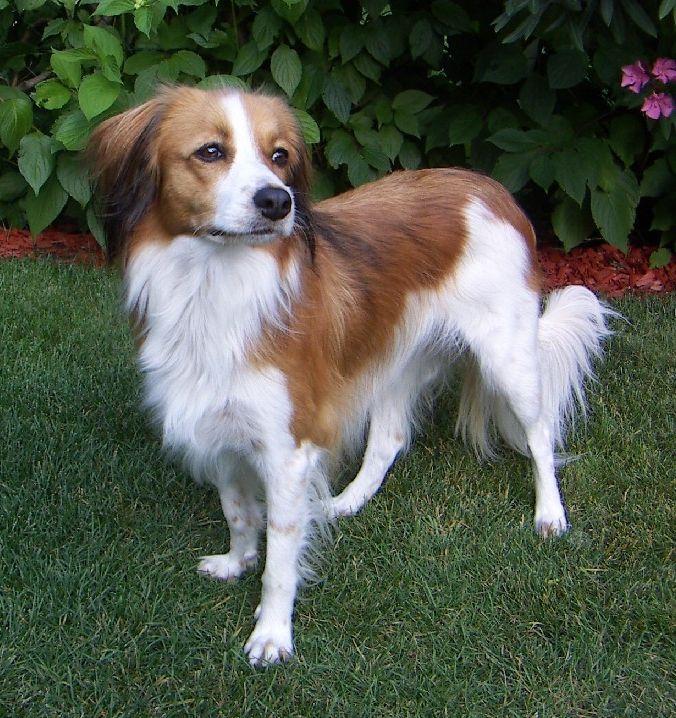 Kooikerhondje Dog Breed Quiz Dog Breeds Rare Dogs