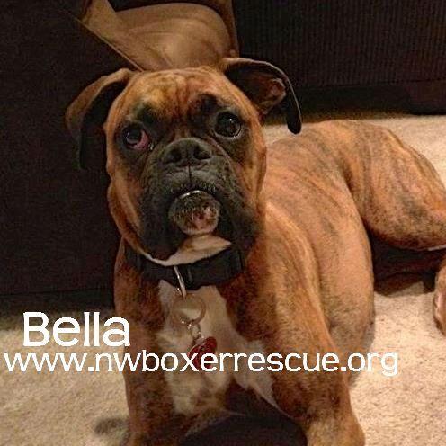 I Found Bella 2 On Boxer Love Brindle Adoption