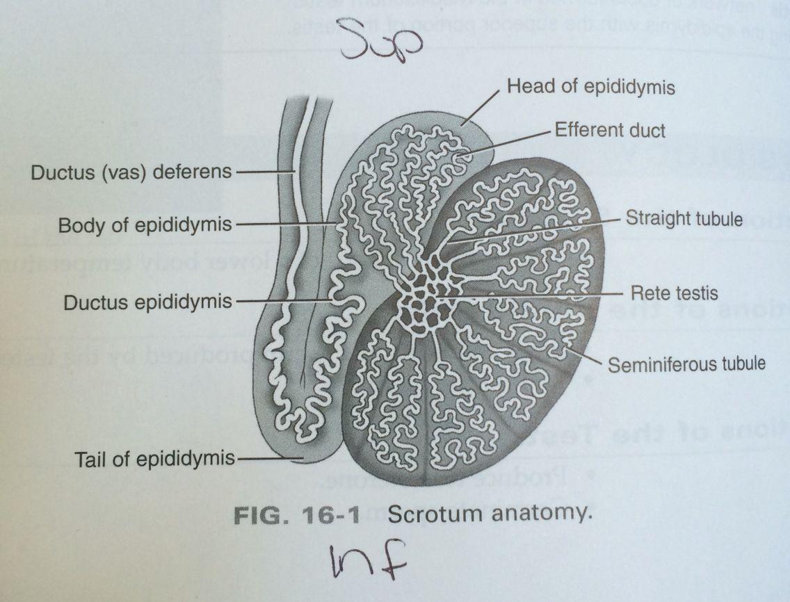 Scrotal anatomy. Ultrasound | sonography | Pinterest | Ultrasound ...