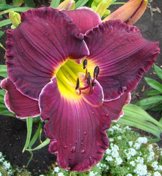 Lincoln Ne Florists: Police And Thieves Daylily
