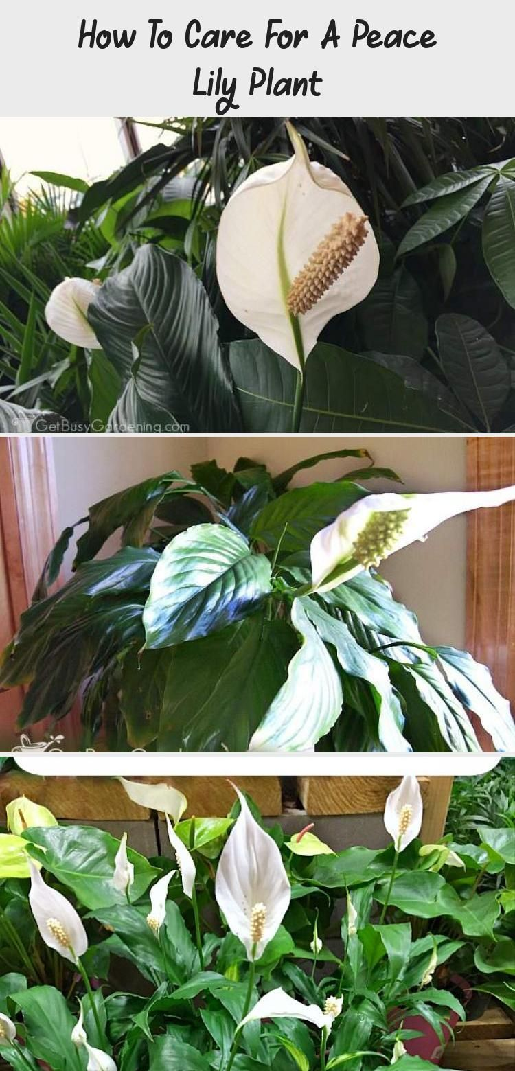 How To Care For A Peace Lily Plant Peace lily plant