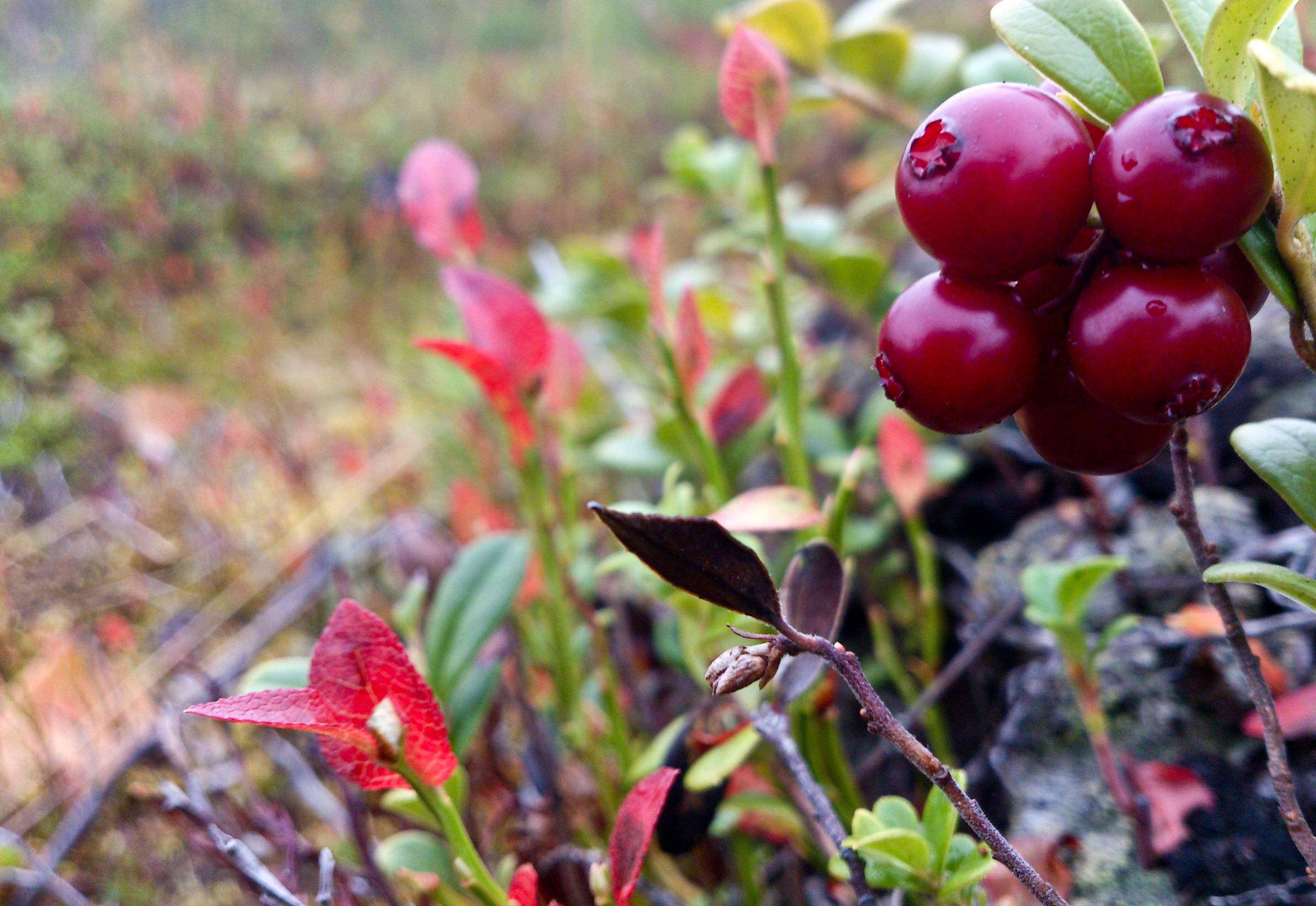 Lingon- berry, pick them in autumn and make fresh jam out of them! #SwedishLapland #womentravel #lingon #berries #8seasons4women http://www.8seasons4women.com/ruska-indian-summer-in-lapland/