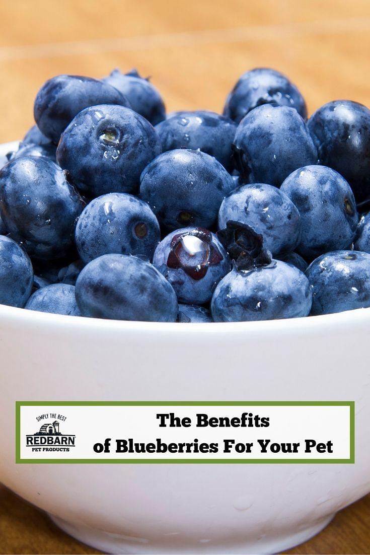 Can Dogs And Cats Eat Blueberries? Blueberry, Eat, Benefit