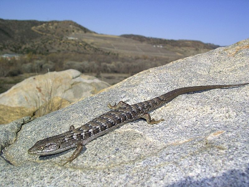 Southern Alligator Lizard Elgaria Multicarinata With Images