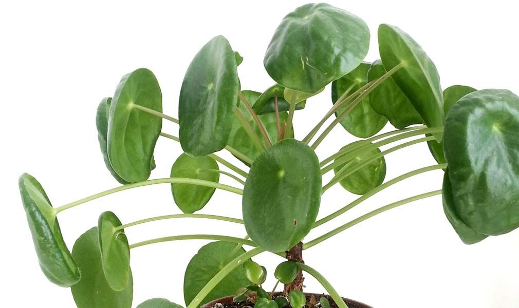Common pilea peperomioides care problems and how to fix