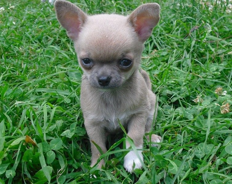 Blue Fawn Chihuahua Pictures