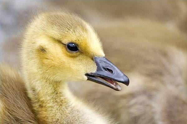 How Long Does It Take For Goose Eggs To Hatch Cuteness Demores Como Fazer Etiquetas Filhote