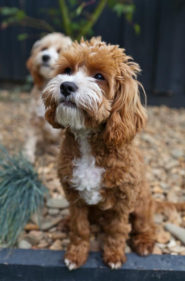 Pin by on Cavoodles Pet photographer