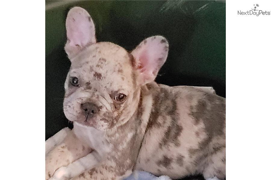 Diva French Bulldog puppy for sale near Houston, Texas