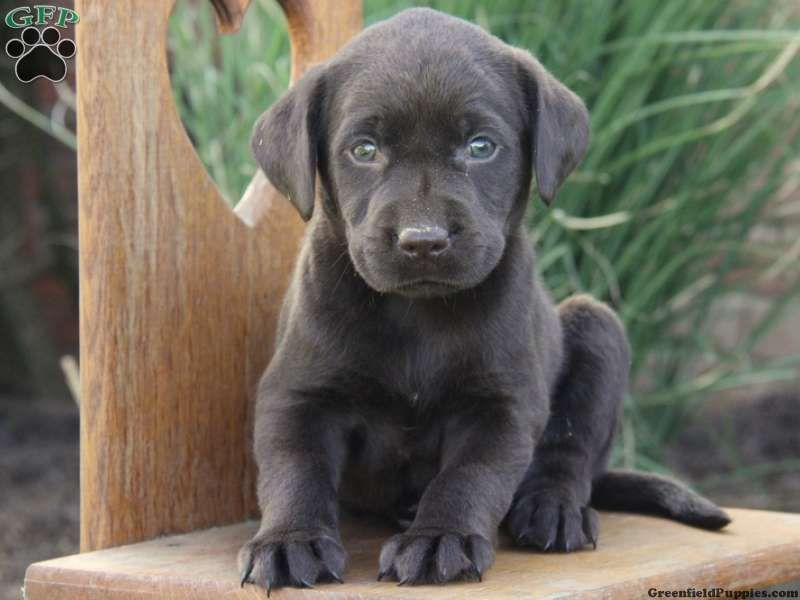 Chester Chocolate Lab Puppy For Sale From Parkesburg Pa