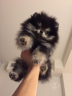 Best Funny Dogs Teacup Puppies for Sale | Teacup Puppy | Miniature Toy Dogs | Cute Dogs | Cute Dogs Funny | #dogs #cutedogs #funnydogs 5