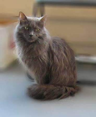 Foxy Lox is up for adoption. She is either a Maine Coon ...
