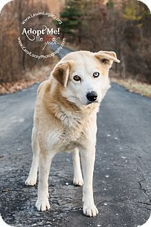 Cincinnati Oh Siberian Husky Golden Retriever Mix Meet Damon