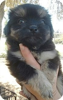 Shih Tzu Mix Puppy For Adoption In Los Angeles California