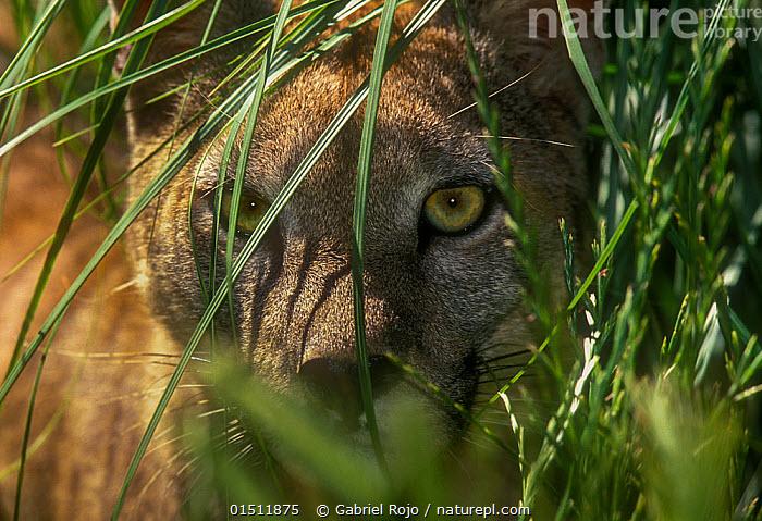 Puma (Puma concolor) hidden in vegetation, captive, La