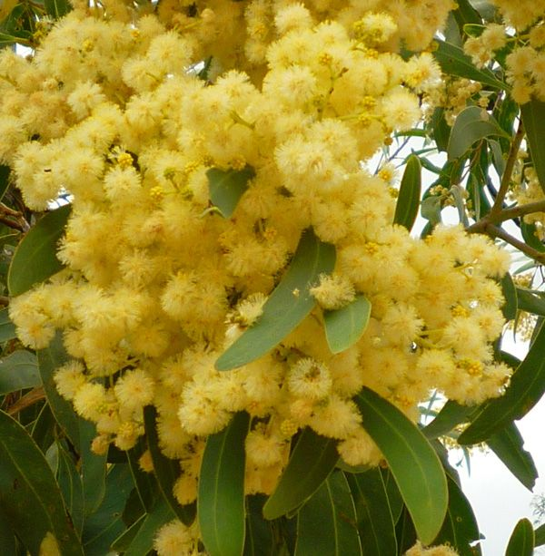 Australian Trees Acacia Wattle Flowers Australiayellow