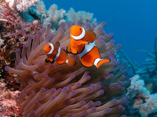 How To Get A Clownfish To Host A Coral