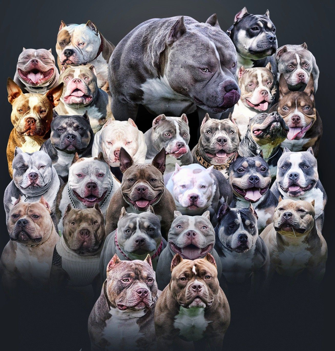 The Flashy Tri Color American Bully Puppies Of Venomline