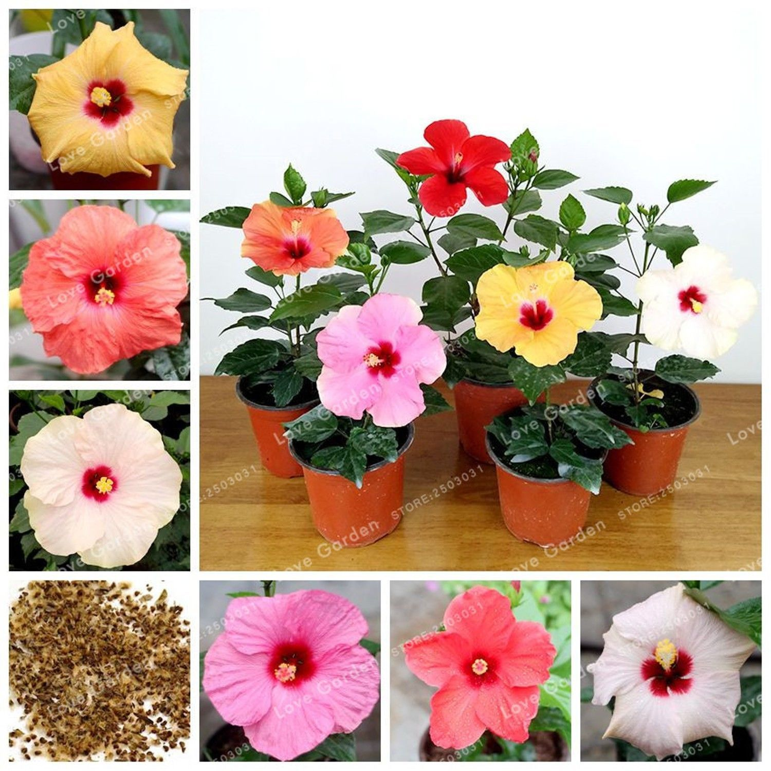 100 Pcsbag Hibiscus Flower Seeds Chinese Rose Seeds Mix Colors To