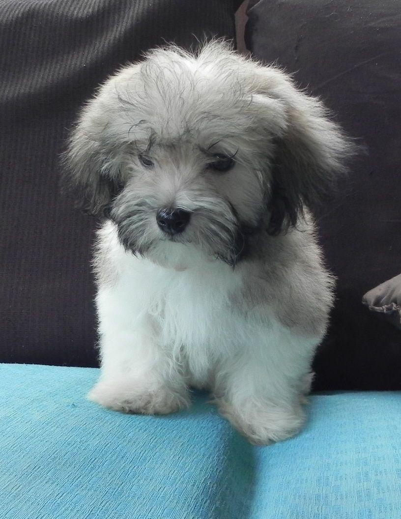 Havanese | Havanese, Baby dogs, Havanese puppies