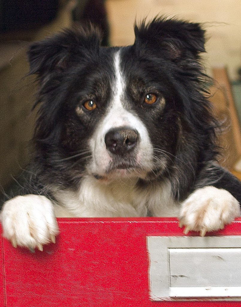 Yo Dogs Collie Puppies Dogs Puppies