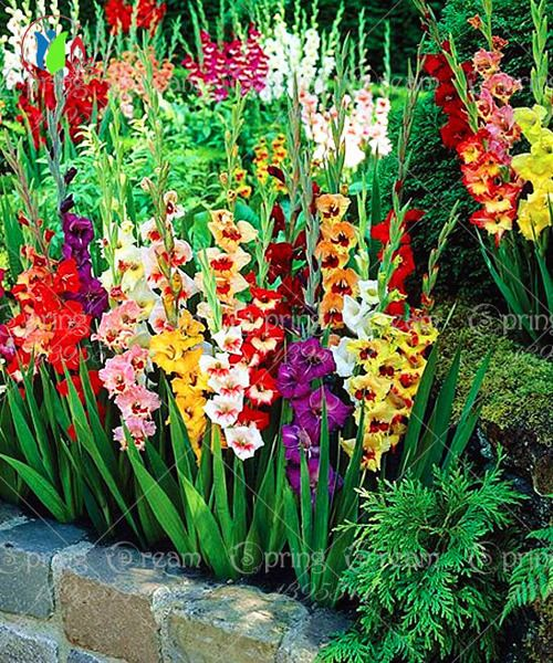 100 Bag Different Perennial Gladiolus Flower Seeds Rare Sword Lily Seeds Very Beautoful Bulbs Garden Design Garden Bulbs Flower Garden