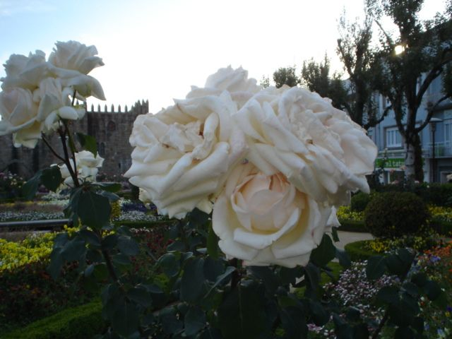 Roses.Jardim de Santa Bárbara do Paço Episcopal Bracarense, em Braga, Portugal || Foto: Pedro Andrade