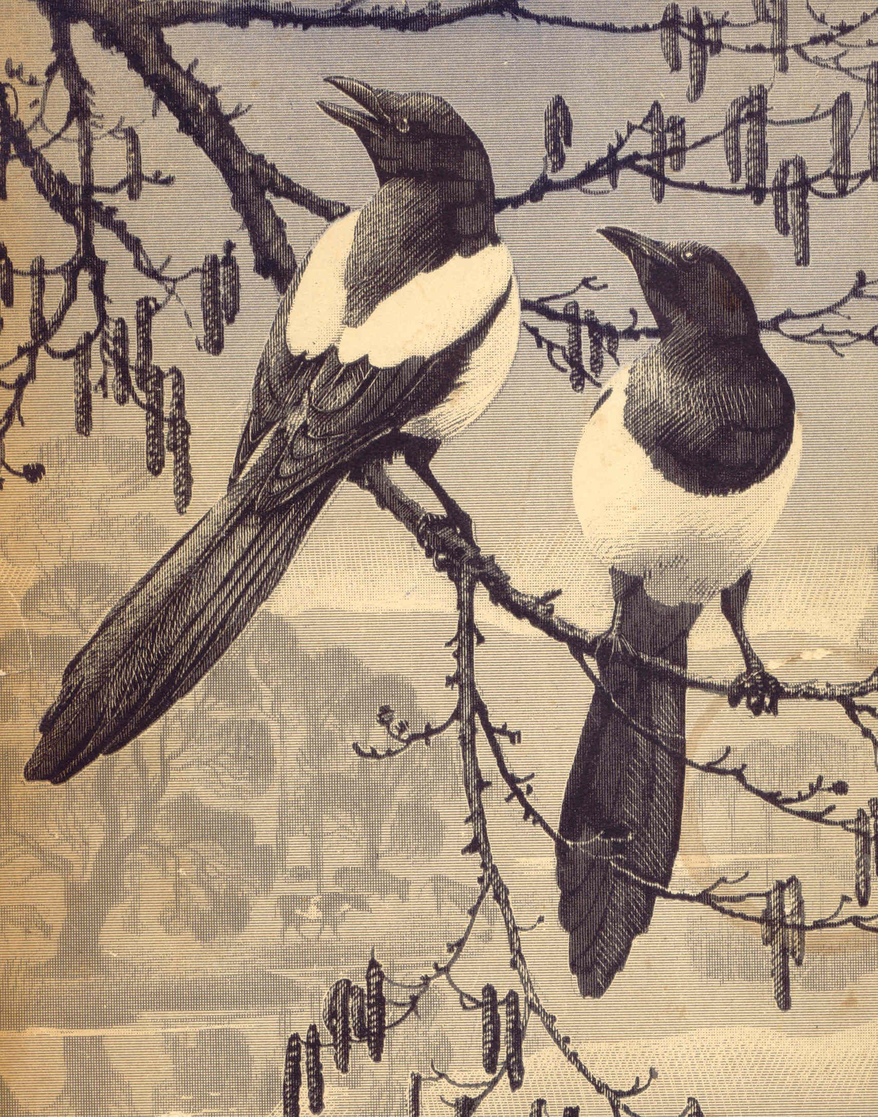 magpies by cf tunnicliffe
